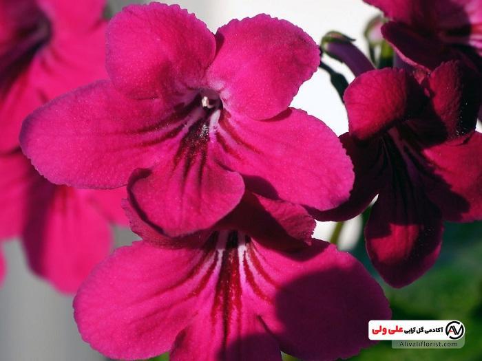 اماریلیس | گل و گیاه زینتی و آپارتمانی