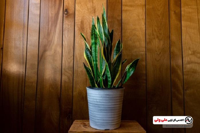 سانسوریا، نمونه یکی از گیاهان آپارتمانی سمی