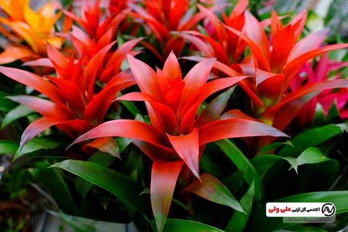 گل اناناسی | گل و گیاه زینتی و آپارتمانی