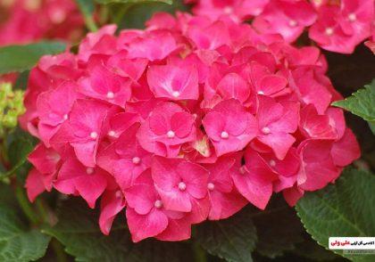 گیاه گلدار هورتانسیا
