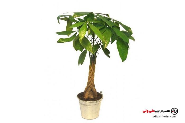 درخت پول