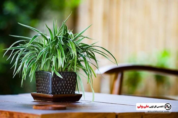 گیاه اپارتمانی   فنگ شویی با گل و گیاه