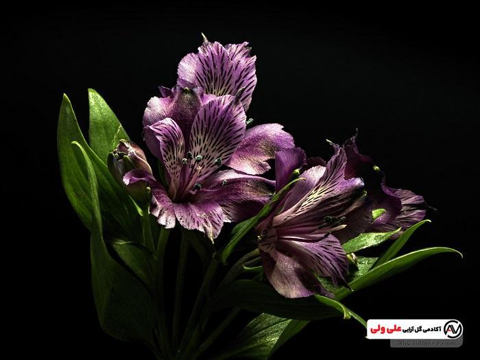 گل های السترومریا بنفش