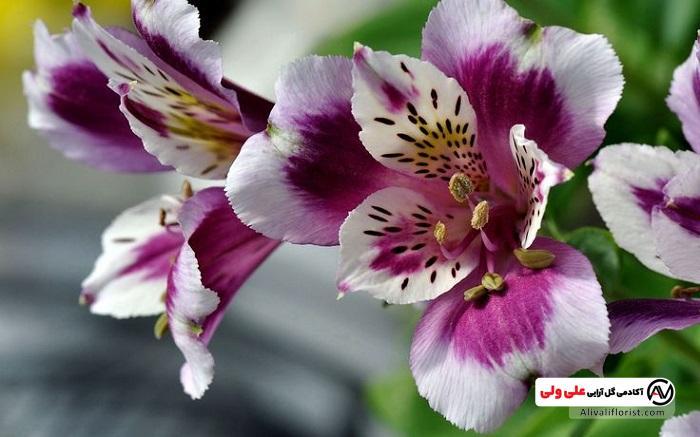 گل زیبای السترومریا