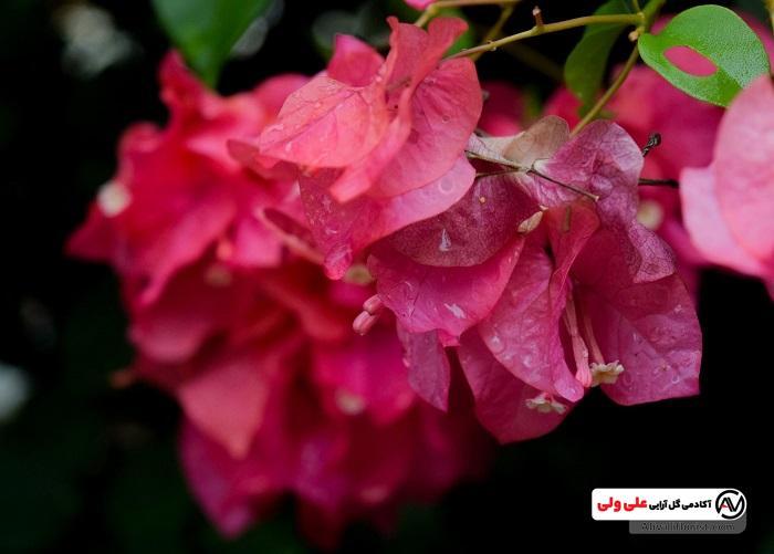 گل کاغذی سرخابی