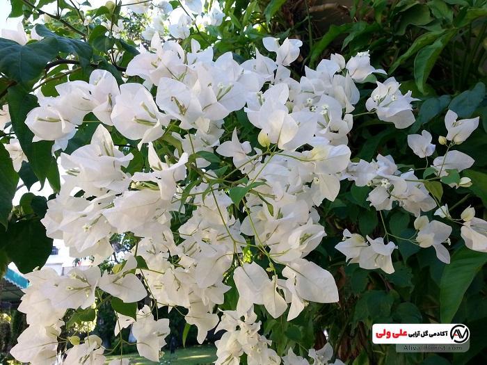 گل های کاغذی سفید