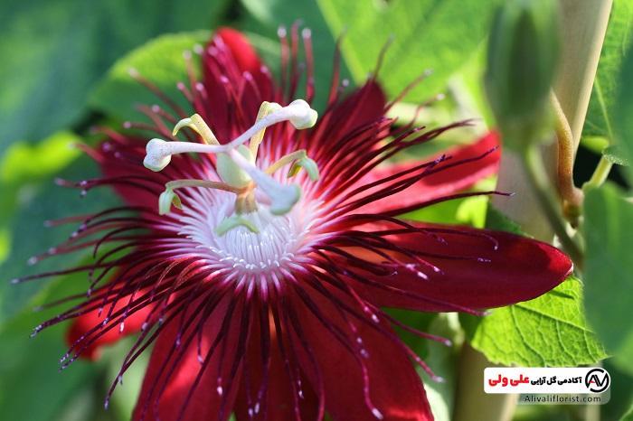 گل های ساعتی قرمز