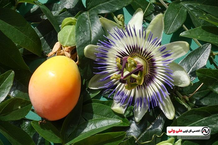 میوه ی گل های ساعتی