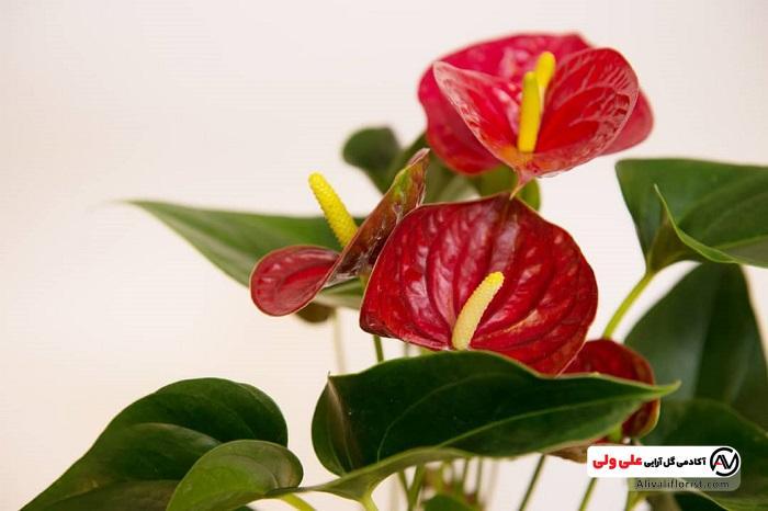 گل انتوریوم قرمز