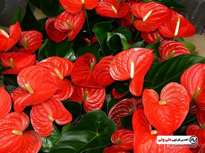 گل های آنتوریوم