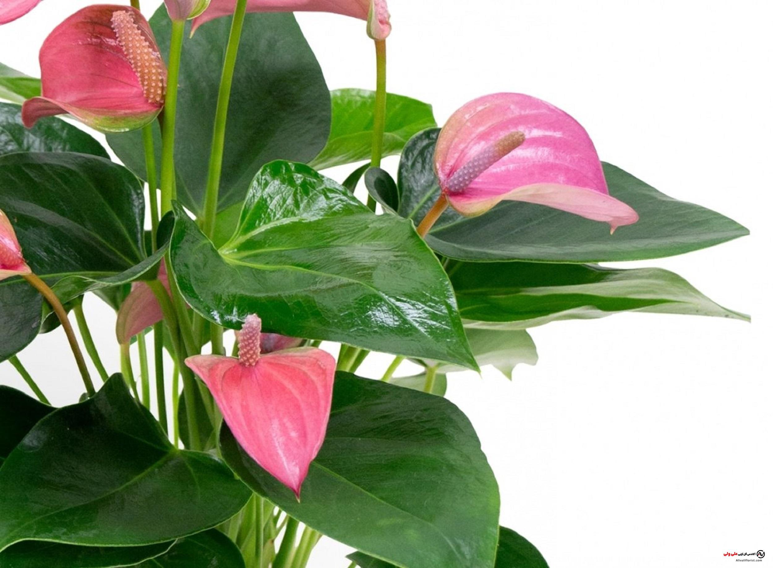 گل آنتوریوم + روش های نگهداری