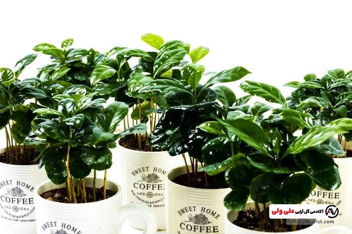 گلدان گیاه قهوه