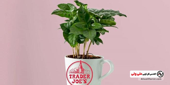 گیاه قهوه در گلدان