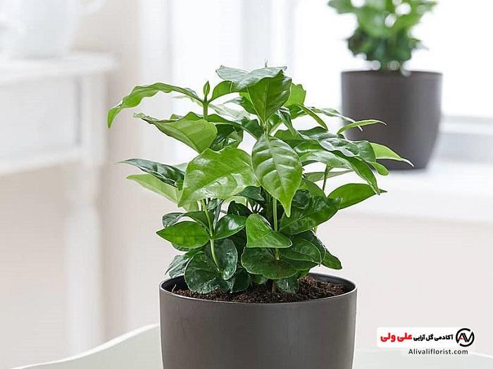 گیاه قهوه با گلدان مشکی