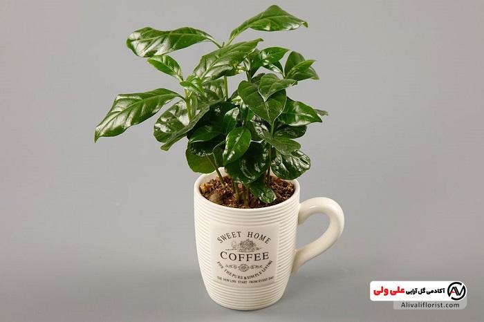 فنجان گیاه قهوه