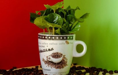 گیاه قهوه | روش های نگهداری و تکثیر