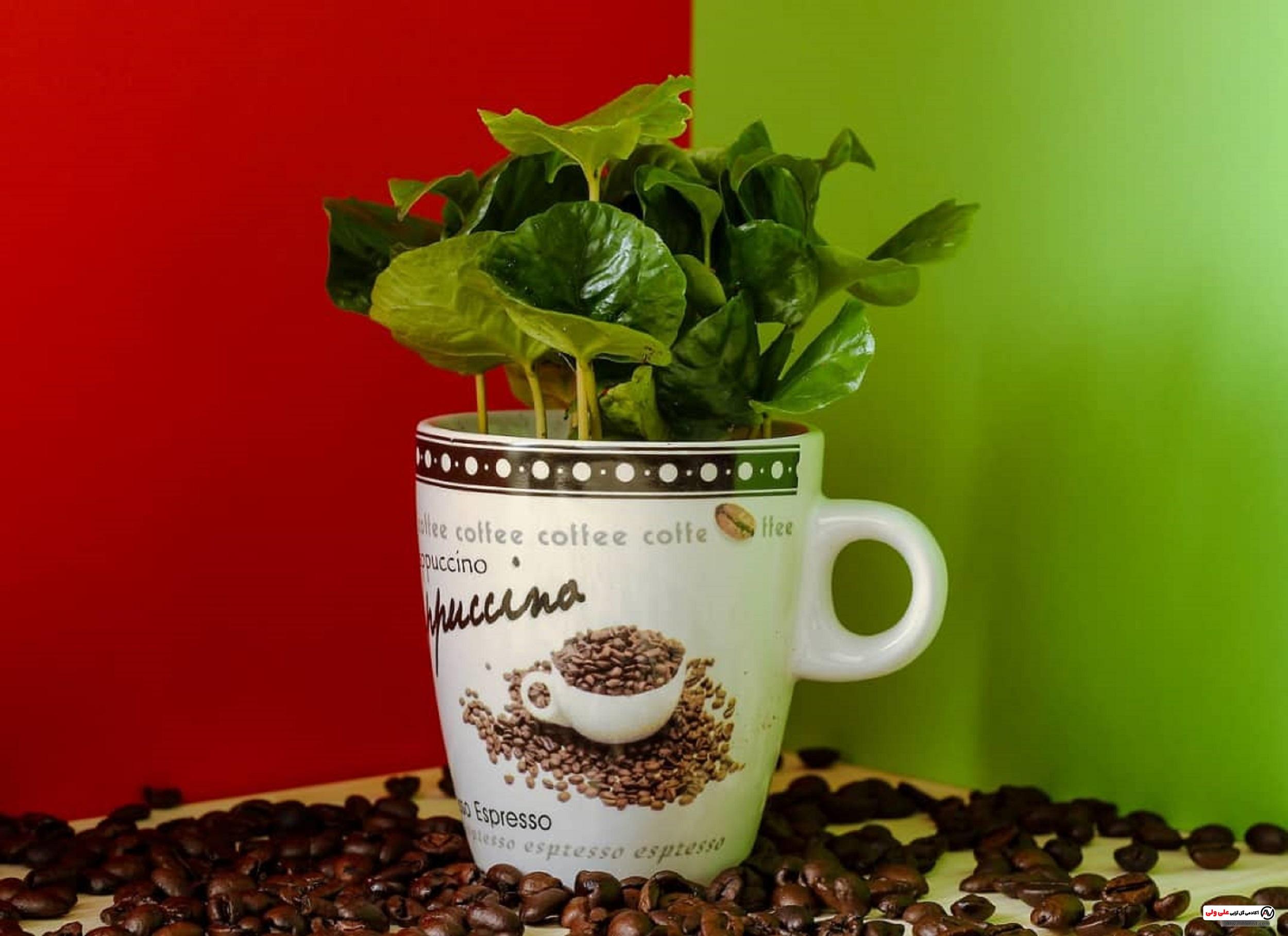 گیاه قهوه   روش های نگهداری و تکثیر
