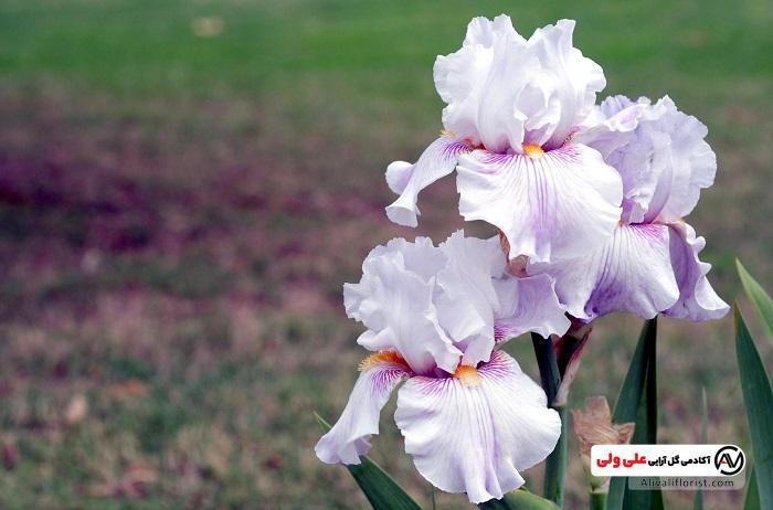 گل زنبق سفید