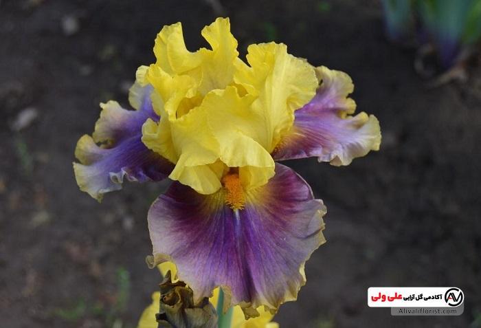 زنبق ترکیبی از زرد و بنفش