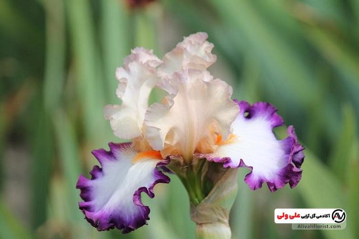 زنبق ترکیبی از سفید و بنفش
