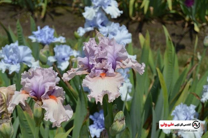 تکثیر گل زنبق
