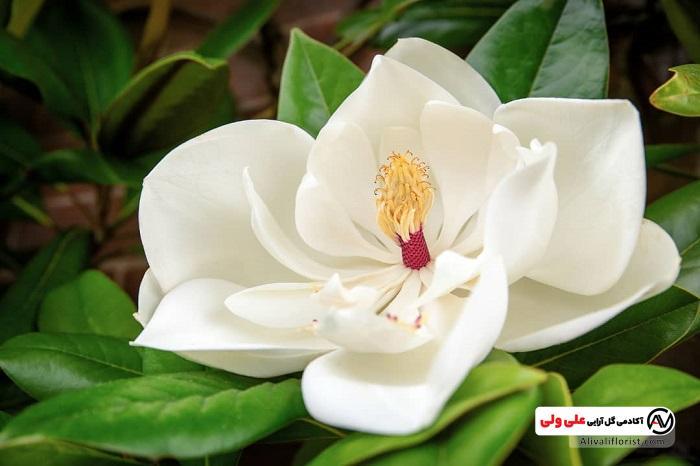 گل ماگنولیا