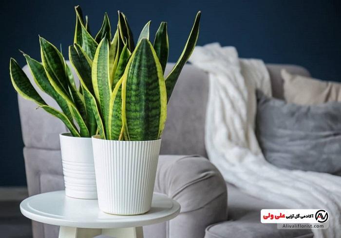 گل و گیاه سانسوریا در منزل